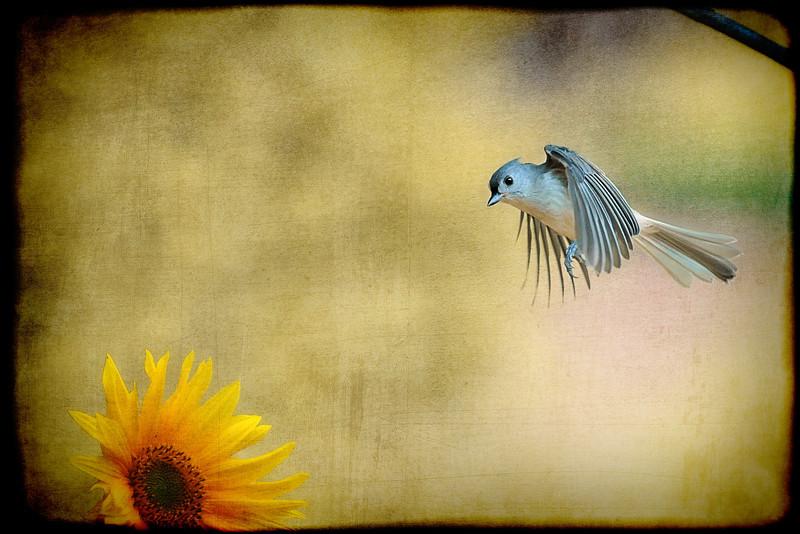 "Tufted Titmouse flying over flower <a href=""http://dan-friend.artistwebsites.com/index.html"">http://dan-friend.artistwebsites.com/index.html</a>"
