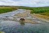 brown bear walking down stream