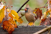Female cardinal feeding in the yellow fall leaves