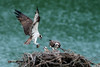 Male osprey providing for his family