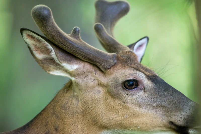Close up  of whitetail deer buck with velvet antlers