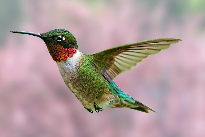 Ruby-throated Hummingbird  beautiful coloring