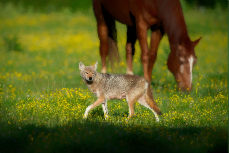 Female coyote cautiously walking in field with horses