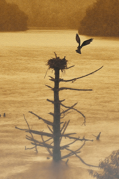 Osprey flying up to nest on old dead tree in water