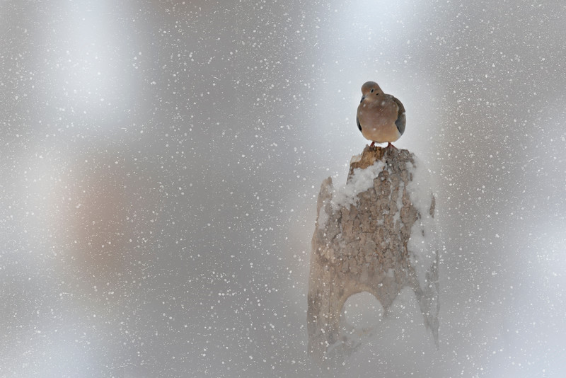 Lone Mourning Dove on log in snow