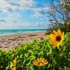 DSC00483 David Scarola Photography, Jupiter Beach Flower, sep 2017