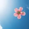 DSC03068 David Scarola Photography, Pink Hibiscus Floating in Blue Water