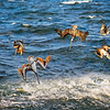 DSC02377 David Scarola Photography, Jupiter Inlet Pelican Hunt