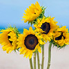 DSC00421 David Scarola Photography, Sunflowers in the Sea, Jan 2018