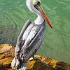 DSC09505 David Scarola Photography, Peruvian Pelican