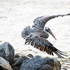 DSC00283 David Scarola Photography, Pelican Hunting in The Jupiter Inlet, May 2017