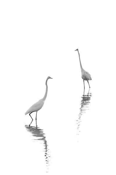 Great Egrets fish Lake Maria Sanchez, St. Augustine, Florida
