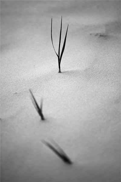 Beach grass struggling to keep ahead of the shifting sand of winter storms, south of St. Augustine, Florida