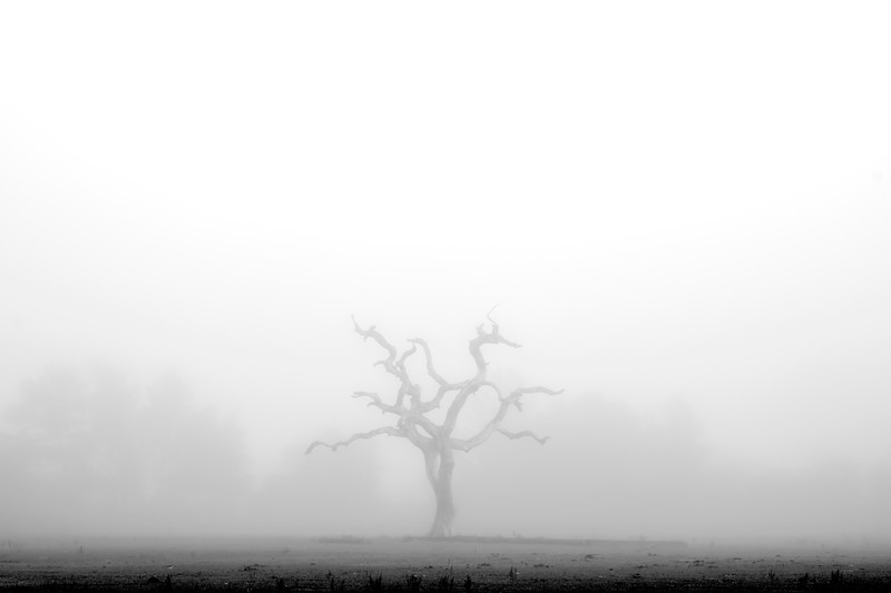 Dead oak tree, foggy early  December morning, St. Augustine, Florida