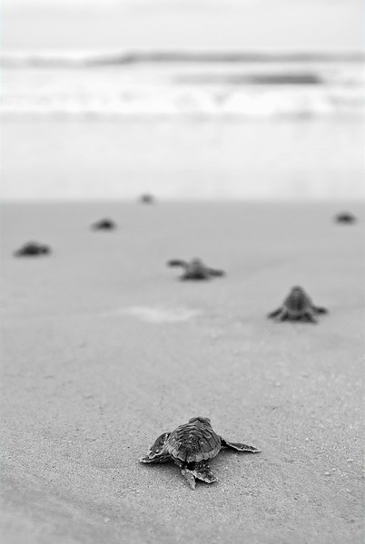Freshly hatched baby loggerhead turtles head for the Atlantic Ocean, near Crescent Beach, Florida