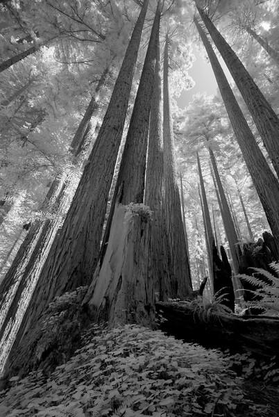 Redwoods, Arcata, California