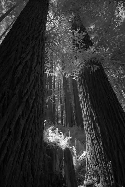 Shaft of morning light lands on some ferns among the soaring redwood trees, Arcata, California