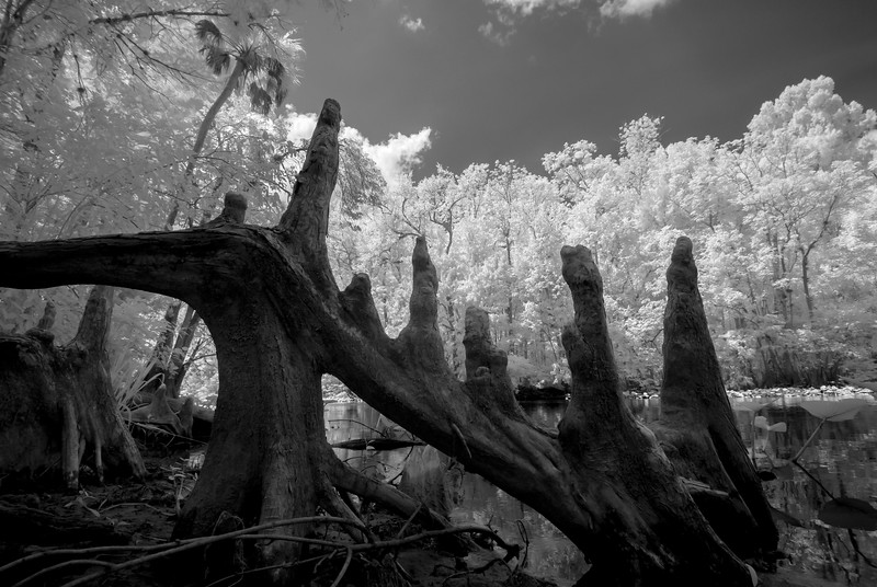 Cypress knees, mid summer, Ocklawaha River, Florida