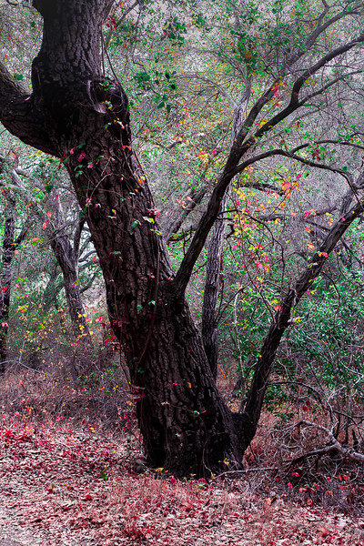 Rose Canyon Tree