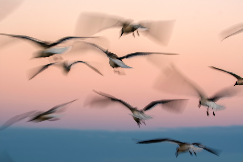 Gulls in flight in the pinks & blues after sunset at St. Augustine Beach, Florida