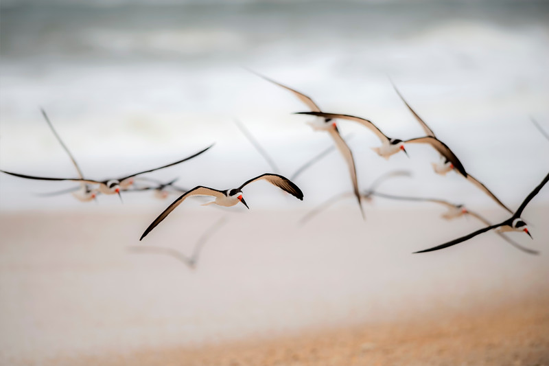 Black Skimmers, Vilano Beach, Florida