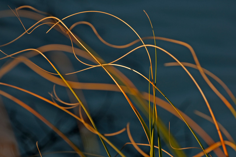 Sea oats blown by strong onshore winds create  constantly moving swaying patterns lit up just before the sun sets