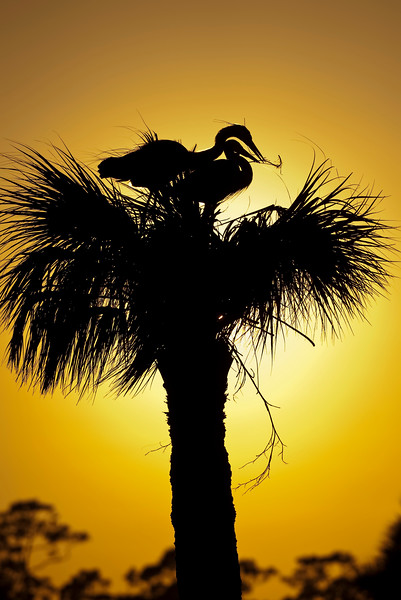 Great Blue Herons building a nest atop a palm tree in Central Florida