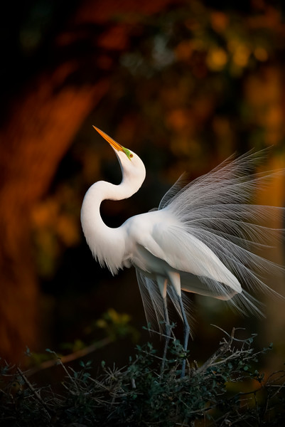 Great Egret displays mating plumage  at sunset . St Augustine Florida