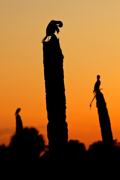 Anhingas preening and drying out at sunset on dead palm tree stumps. Central Florida