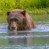 Coastal Brown Bear,  Afternoon Dip