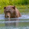 Coastal Brown Bear,  Afternoon Dip