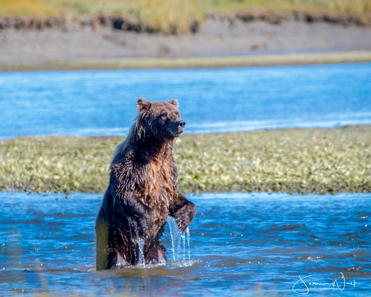 Salmon Fishin, Coastal Brown Bear Alaska
