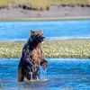 Salmon Fishin, Coastal Brown Bear Alaska