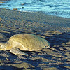 """SUNBATHING SEA TURTLE"""