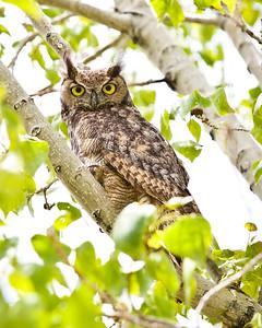 Great_Horned_OwlSociety6