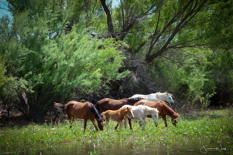 Summer Morning Breakfast, Wild Horse Herd Salt River, AZ