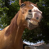 Laughing Dunny  Wildhorse Ranch Rescue