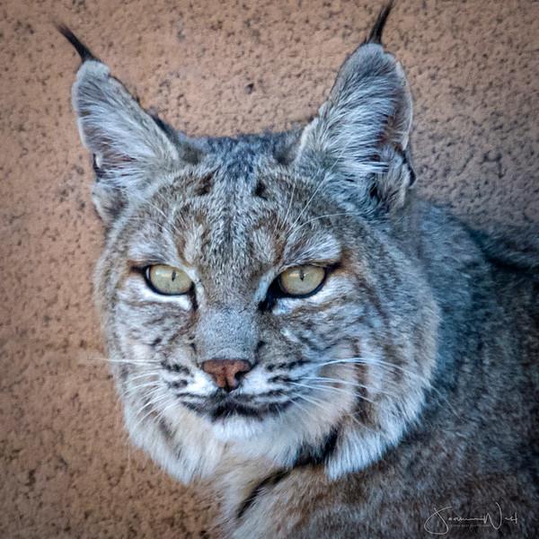 Bobcat First Day of Winter AZ