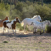 I was hired to photography Elizabeth Magee's mixed herd.  Her land and corrals here at  the back of Gold Canyon made for the perfect backlit running portrait in the early morning light.  The spacing of this shot took several attempts with the herd running...poor Elizabeth was more tired than the horses.