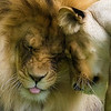 """SNUGGLING LIONS"""