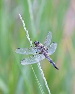 DragonflyFINAL16x20Nevada2011-366