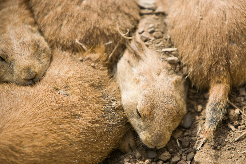 """SQUISHED PRARIE DOG"""