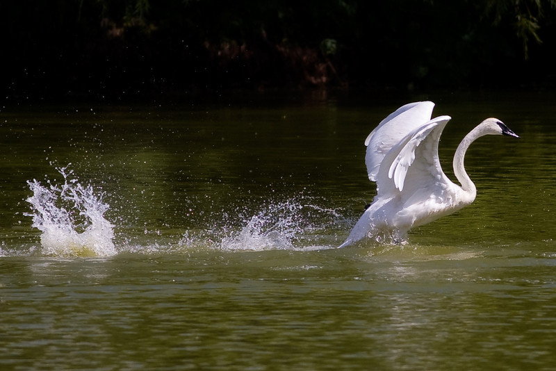 """WATERWALKING SWAN"""