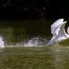 """""""WATERWALKING SWAN"""""""