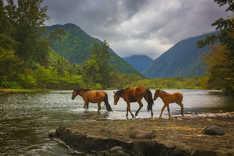 """THE WILD HORSES OF WAIPIO VALLEY"""