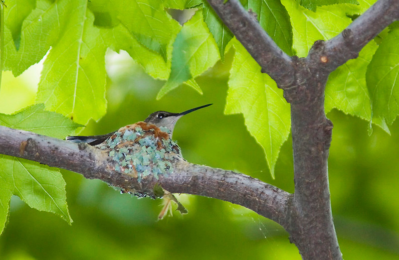 Ruby-throated Hummer on Nest