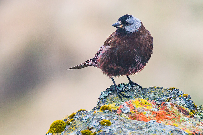 Gray-crowned Rosy-finch in Alaska
