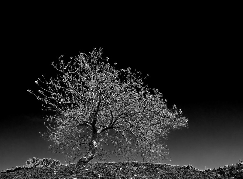 Morning Glory Tree