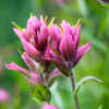 "<b>""ROSY PAINTBRUSH""</b>"