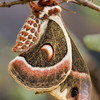 "<b>""CECROPIA MOTH""</b>"